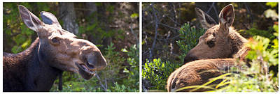 Photograph - Mother And Baby Moose by Glenn Gordon