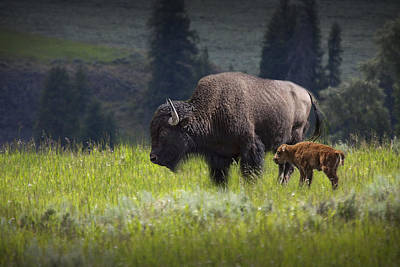 Mother And Child Bison Art Print by Randall Nyhof