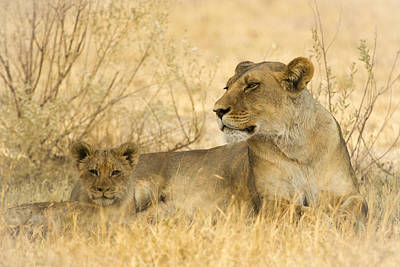 Photograph - Mother And Cub by Alison Buttigieg