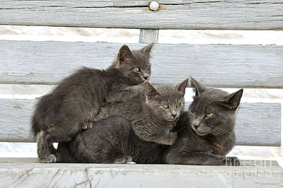 Photograph - Cat And Kittens by George Atsametakis