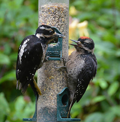 Hairy Woodpecker Photograph - Mother And Son II by Ronda Broatch
