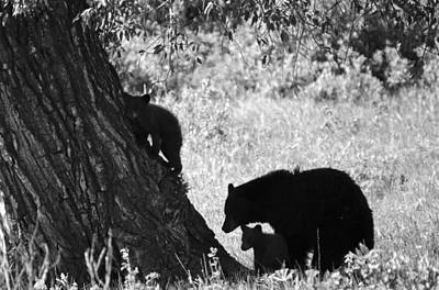 Photograph - Mother Black Bear With Two Cubs by Crystal Wightman