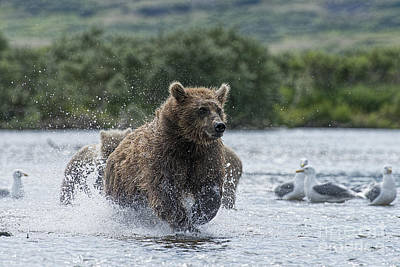 Photograph - Mother Brown Bear Chasing After Salmon by Dan Friend