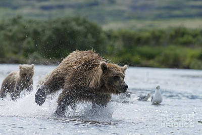 Photograph - Mother Brown Bear Chasing Salmon Fast  by Dan Friend