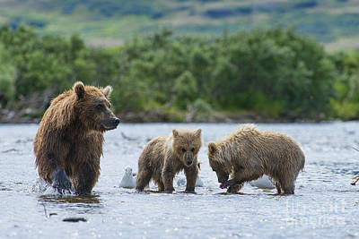 Photograph - Mother Brown Bear With Cubs Looking For Salmon by Dan Friend