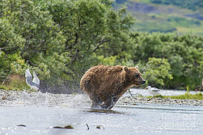 Photograph - Mother Brown Bear Cub Going Full Out After Salmon by Dan Friend