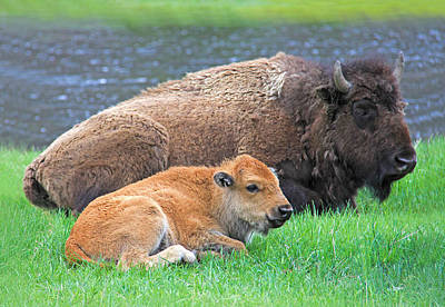 Photograph - Mother Buffalo And Calf Yellowstone by Jennie Marie Schell