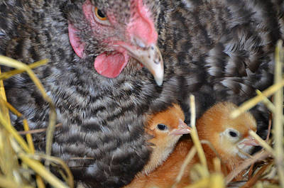 Chicks Photograph - Mother by Charlotte Schafer