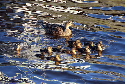 Photograph - Mother Duck With Babies by Carla Parris
