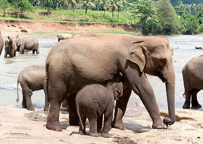Pinnawela Photograph - Mother Elephant And Baby by Jane Rix