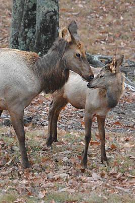 Photograph - Mother Elk And Calf by Alan Lenk