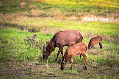 Photograph - Mother Elk With Her Young by Sennie Pierson