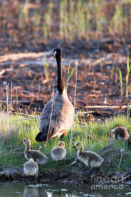 Mother Goose And Goslings Art Print