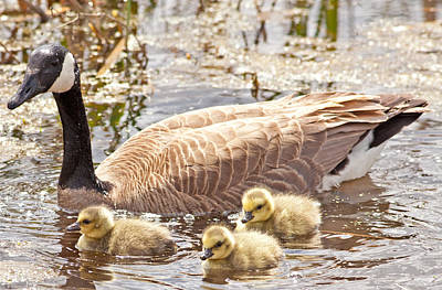 Mother Goose And Goslings Art Print by Natural Focal Point Photography
