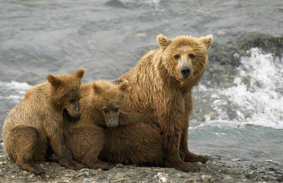 Photograph - Mother Grizzly W2nd Year Cubs By River by Harry Walker