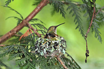 Photograph - Mother Hummingbird In Nest by Peggy Collins