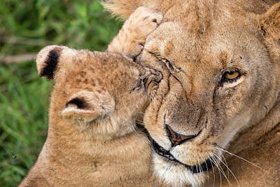 Lioness Wall Art - Photograph - Mother Love by Alessandro Catta