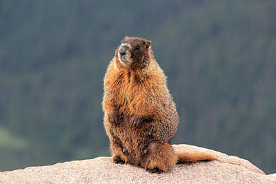 Photograph - Mother Marmot by Shane Bechler