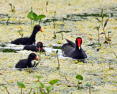 Moorhen Photograph - Mother Moorhen And Bald Babies by Al Powell Photography USA