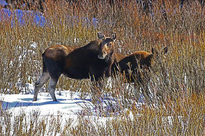Photograph - Mother Moose by Jon Emery
