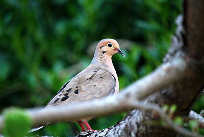 Photograph - Mother Mourning Dove by Mary Beth Landis