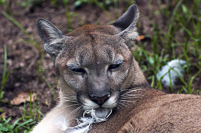 Photograph - Mother Nature - Cougar by Donna Proctor