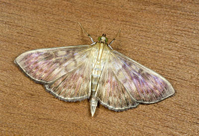 Mother Of Pearl Photograph - Mother-of-pearl Moth by Nigel Downer