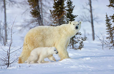 Mother Polar Bear With Cub Art Print by Keren Su
