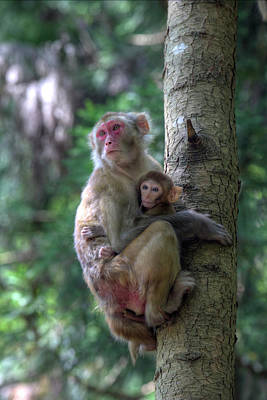 Caring Mother Photograph - Mother Rhesus Macaque And Baby by Darrell Gulin
