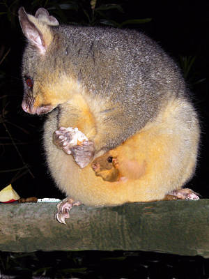 Photograph - Mother Ringtail Possum by David Rich