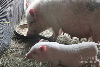 Photograph - Mother Sow And Piglet by Terri Thompson