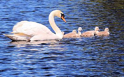 Photograph - Mother Swan And Babies by Janice Drew