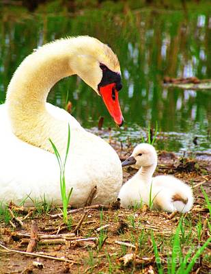 Photograph - Mother Swan And Baby by Nick Zelinsky