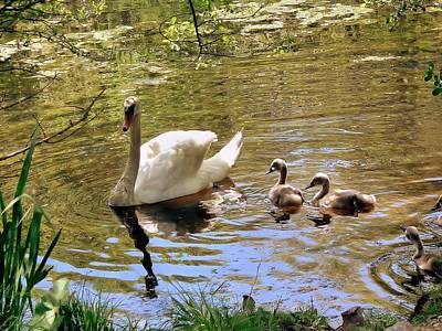 Mother Swan And Cygnets Art Print by Janice Drew