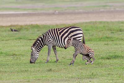 Mother Zebra (equus Quagga Art Print by James Heupel