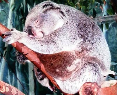 Photograph - Koala Bears Mother's Love by Belinda Lee