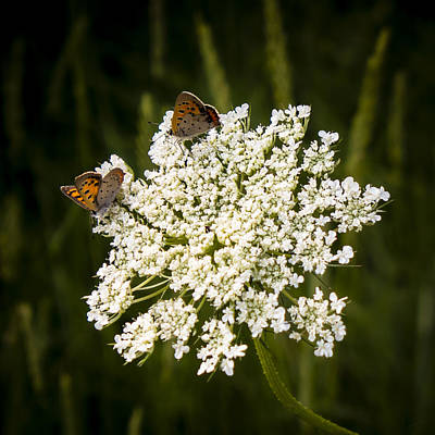 Photograph - Moths On Lace by Frank Winters