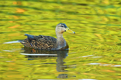 Mottled Duck (anas Fulvigula Art Print by Larry Ditto