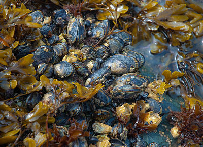Photograph - Mound Of Mussels by Sarah Crites