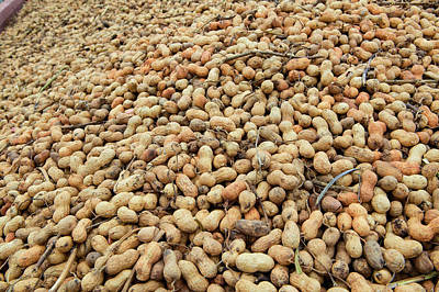 Mound Of Peanuts At Peanut Facility Art Print
