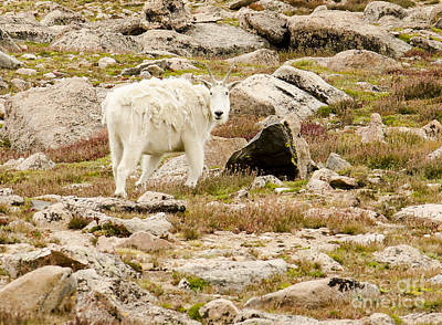 Photograph - Mount Evans Mountain Goat by Kelly Black