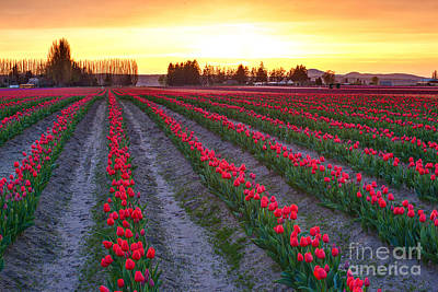 Skagit Photograph - Mount Vernon Tulip Rows by Mike Reid
