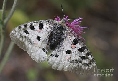 Mountain Apollo Parnassius Apollo Art Print by Amos Dor