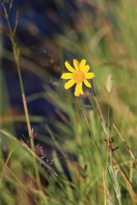 Photograph - Mountain Arnica by Melinda Fawver