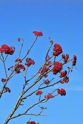 Photograph - Mountain Ash And Blue Sky by Gregory Scott