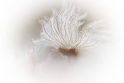 Avens Photograph - Mountain Avens Seed Head by Heiko Koehrer-Wagner
