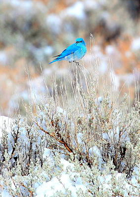 Photograph - Mountain Blue Bird by Floyd Tillery