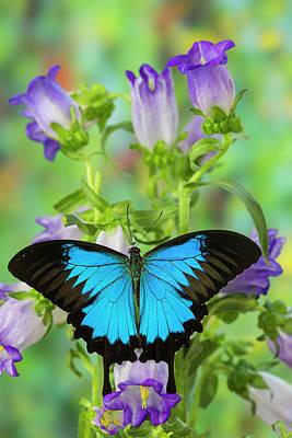 Blue Swallowtail Photograph - Mountain Blue Swallowtail Of Australia by Darrell Gulin