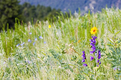 Steven Krull Royalty-Free and Rights-Managed Images - Mountain Bluebell by Steven Krull