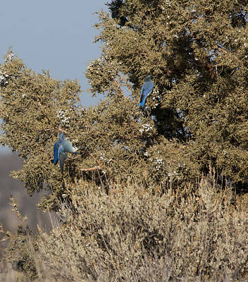 Photograph - Mountain Bluebird - 0001 by S and S Photo